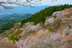 Flowering cherry trees blanket Mount Yoshino in white blossoms during spring in Nara Prefecture, Japan Stock Photography