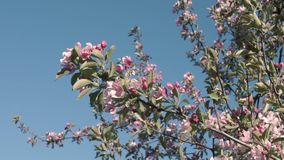 Flowering of cherry trees stock video footage