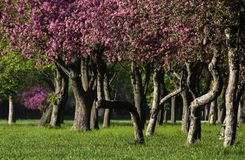 Flowering of cherry trees Royalty Free Stock Photo