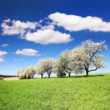 Flowering cherry trees and green spring time corn field. Alley of flowering cherry trees and green spring time corn field with beautiful clouds on sky Royalty Free Stock Image