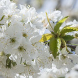 Flowering cherry trees. Stock Photography