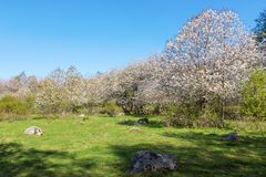 Flowering cherry trees in the meadow Royalty Free Stock Photos