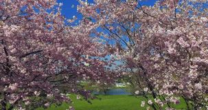 Flowering cherry trees, Munich, Bavaria, Germany, Europe. Flowering cherry trees in the Olympic Park in Munich, Bavaria, Germany, Europe stock footage