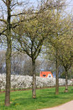 Flowering cherry trees in the Netherlands Royalty Free Stock Images
