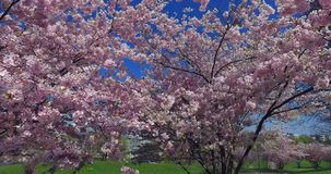 Flowering cherry trees, Munich, Bavaria, Germany, Europe. Flowering cherry trees in the Olympic Park in Munich, Bavaria, Germany, Europe stock video