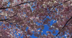 Flowering cherry trees in the Olympic Park in Munich, Bavaria, Germany. Europe stock video footage