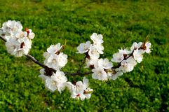 Flowering cherry trees in spring Stock Photo
