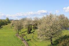 Flowering cherry trees Stock Image