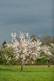 Flowering cherry trees Stock Photo