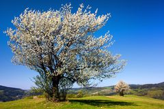 Flowering cherry-trees. View of flowering cherry-trees Stock Image