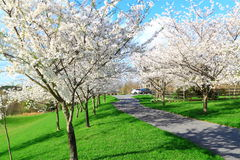 Flowering Cherry Trees Stock Image