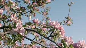 Flowering of cherry trees stock video