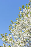 Flowering cherry twig on a clear spring day Royalty Free Stock Photo