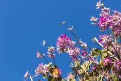 Flowering Cherry Royalty Free Stock Image