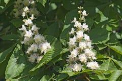 Flowering Chestnut Royalty Free Stock Photos
