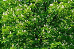 Flowering chestnut Royalty Free Stock Images