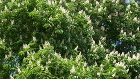 Flowering chestnut blossoms against a blue sky.  stock video