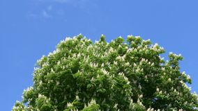 Flowering chestnut blossoms against a blue sky.  stock video footage