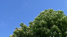 Flowering chestnut blossoms against a blue sky.  stock footage