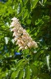 The flowering chestnut stock photos