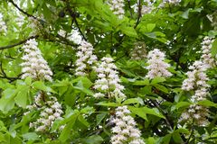 Flowering chestnut horse. White bunches of chestnut flowers. royalty free stock photography