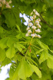 Flowering chestnut tree Stock Images