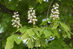 Flowering chestnut tree. (Aesculus hippocastanum royalty free stock image