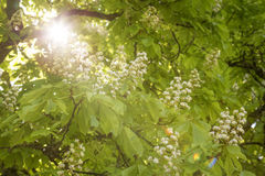 Flowering chestnut tree Stock Photo
