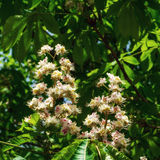 Flowering chestnut tree Royalty Free Stock Photos