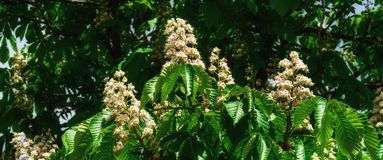 Flowering chestnut tree Stock Photography