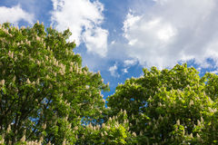Flowering chestnut tree and blue sky Royalty Free Stock Photography