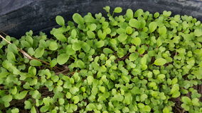 flowering chinese cabbage Stock Photo