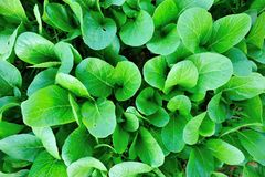 Flowering chinese cabbage Stock Image