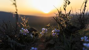 Flowering Chionodoxa luciliae at sunset of the day. Nature Stock Photo