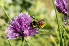 Flowering Chive with a Bee on the Blossom Stock Image