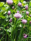 Organic flowering chive. Close up of flowering chive on a sunny day royalty free stock photography