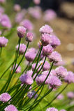 Flowering chive Royalty Free Stock Photo
