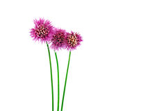 Flowering Chives 1. Flowering chives isolated on a white background Stock Photo
