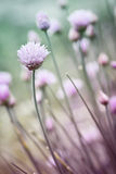 Flowering chives Stock Photo