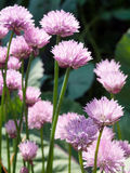 Flowering chives Royalty Free Stock Photos