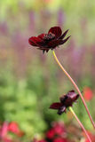 Flowering chocolate plant (Cosmos atrosanguineus) royalty free stock photos