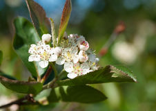Flowering Chokeberry (Aronia) Stock Photo