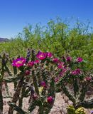 Flowering Cholla. With pink flowers Royalty Free Stock Photography