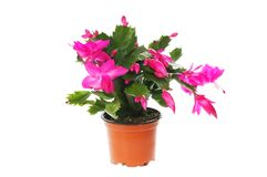 Flowering Christmas cactus. Schlumbergera, in a pot isolated against white stock image