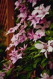 Flowering clematis. Photo of pink flowering clematis climbing over a garden fence Royalty Free Stock Photos