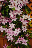 Flowering clematis. Flowering pink clematis climbing over a garden fence Stock Images