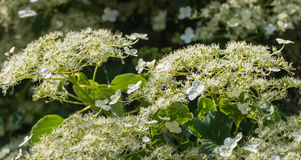 Flowering Climbing Hydrangea from close Royalty Free Stock Photo