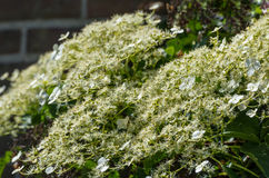 Flowering Climbing Hydrangea from close Stock Image