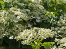 Flowering Climbing Hydrangea from close Stock Images