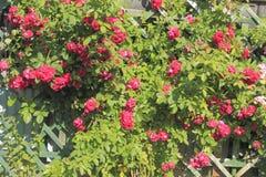 Flowering climbing rose Royalty Free Stock Images